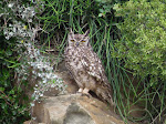 Spotted eagle-owl (photo by Clare). We saw these owls several times, they were fairly common.