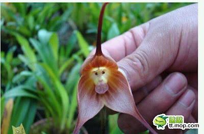 bunga terunik, bung anggrek terunik, bunga paling unik, bunga aneh, bunga paling aneh, bunga anggrek, bunga mirip monyet
