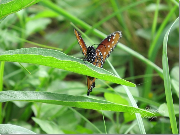 Queen_Butterfly4