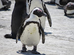 African jackass penguin (photo by Clare)