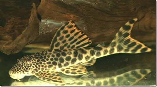be-ca-canh-leopard_pleco_catybabeo002-be-thuy-sinh