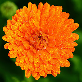 Zigna orange by Gérard CHATENET - Flowers Single Flower