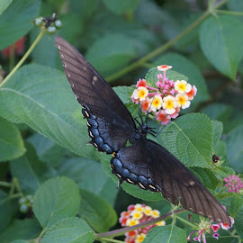 Butterfly eating by Bar Ivy - Animals Other ( contrast, butterfly, colorful, feeding, flower )