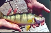 Lake Perch!  Only the Best!