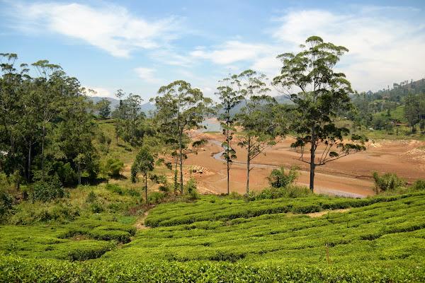 цеелон, шри-ланка, чайные плантации
