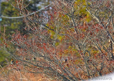 5. waxwings in fruit tree-kab