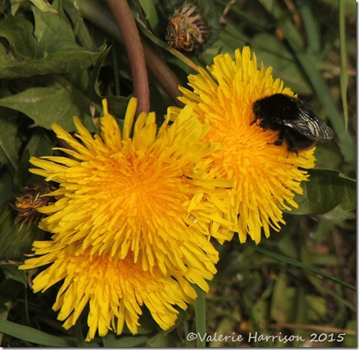 5-red-tailed-bumblebee