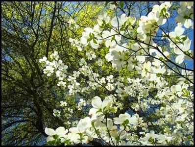 dogwood tree2