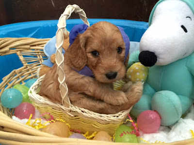 labradoodle puppy, Easter at Gorgeousdoodles.