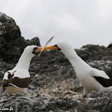 Love is in the air - Genovesa - Galápagos