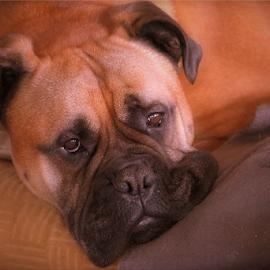 Saar by Arjo van Timmeren - Animals - Dogs Portraits ( bullmastiff, mastiff, lazy, dog, portrait )