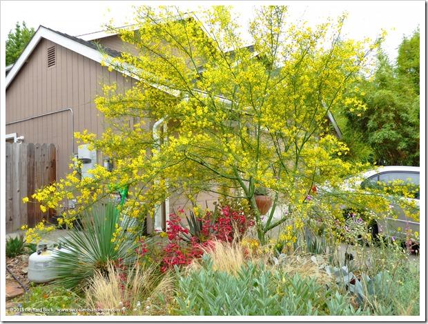 150603_Parkinsonia-Desert-Museum-flowering_007
