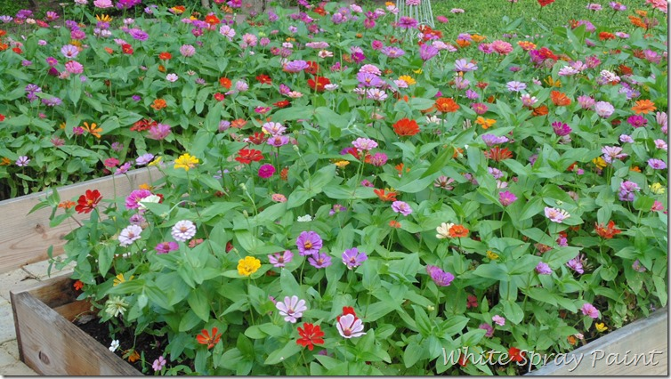 Raised Zinnia Beds 2015
