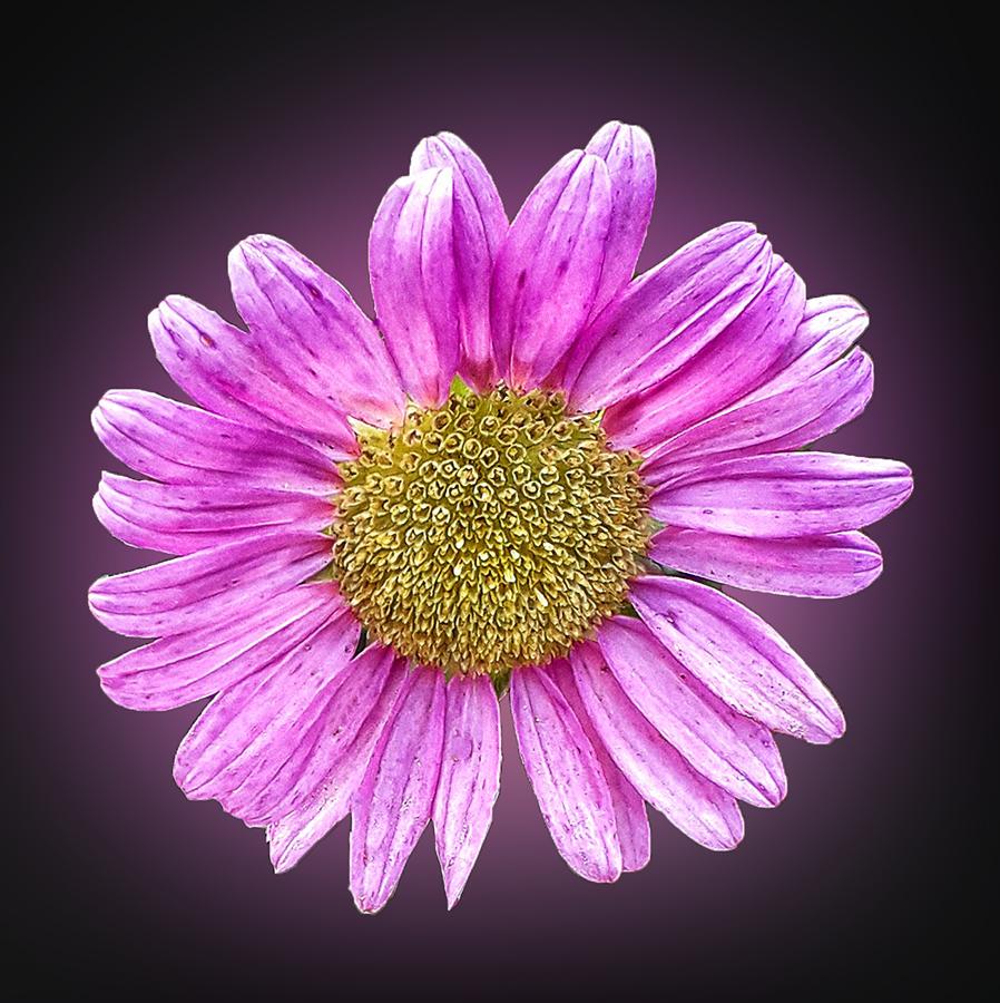 by Abdul Rehman - Flowers Single Flower