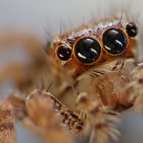 Spider by Brijesh Shivashankar - Animals Insects & Spiders ( arachnida, macro, animalia, chelicerata, arthropoda )