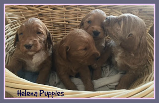 Gorgeousdoodles Helena puppies