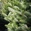 korean_fir_foliage091.jpg