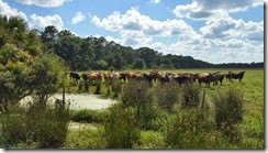 Herd of cattle watching