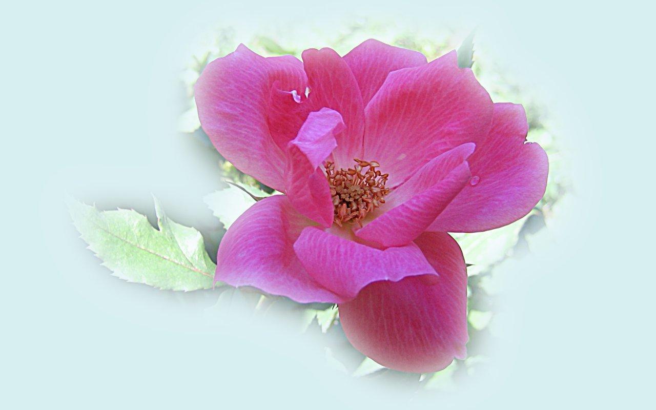 Hot Pink Wild Rose 1280x800px