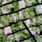 chloroplasts_hypertonic01.jpg