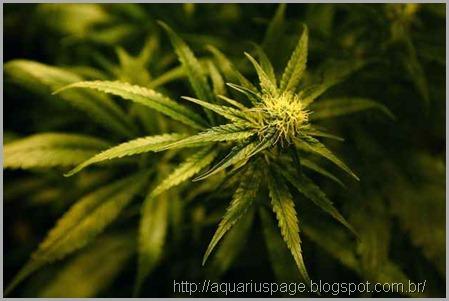 Maconha-Cannabis-farmaceutica