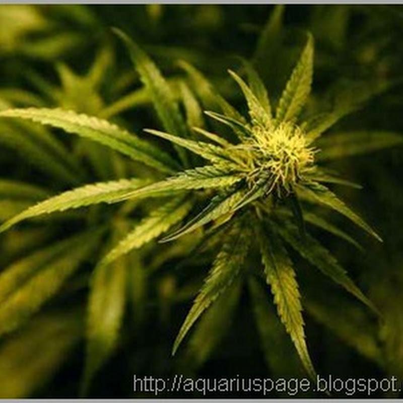 Governo dos EUA admite Finalmente que a Maconha (Cannabis) mata células cancerosas