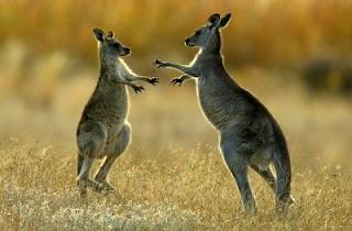 Canguros jóvenes jugando