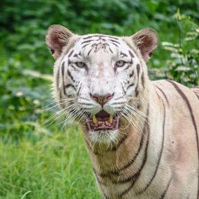 White Tiger by Vishal  Singh - Uncategorized All Uncategorized ( danger, tiger, pixoto, close up, competition )