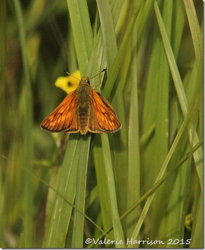 23-large-skipper
