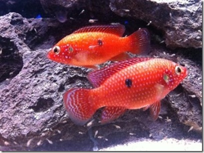 be-ca-canh-jewel_cichlid_african_jewelfish_cakimcuongdo001-be-thuy-sinh
