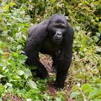 Gorilla-Begegnung im Bwindi Nationalpark © Foto: Marco Penzel | Outback Africa
