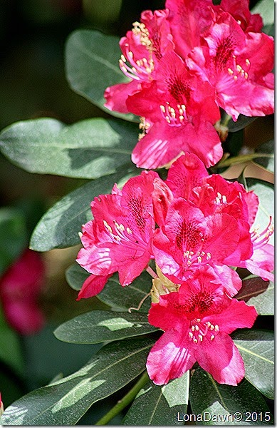 Rhododendron Red 4