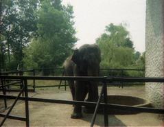 1981.06.24-017.11 éléphant d'Asie