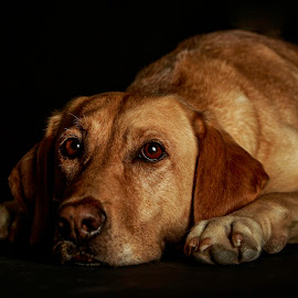 Lucia by Troy Wheatley - Animals - Dogs Portraits ( labrador retriever, yellow, dog, portrait, yellow lab )