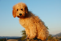 Hey Gorgeous Catalena, apricot labradoodle.