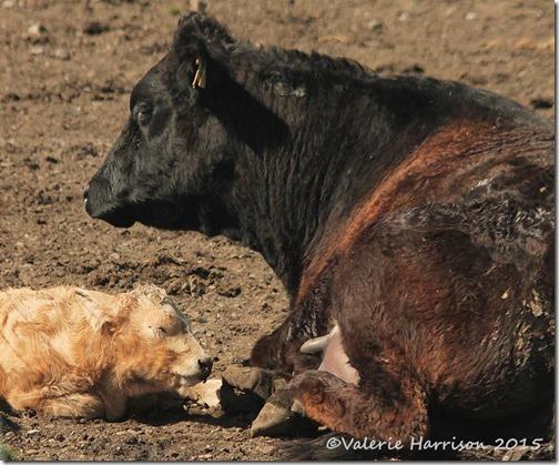 6 calf