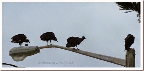 04-30-buzzards2