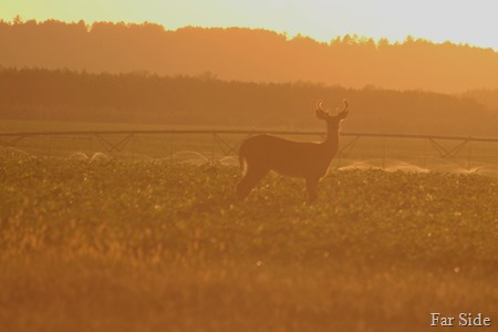 Deer single in the bean field