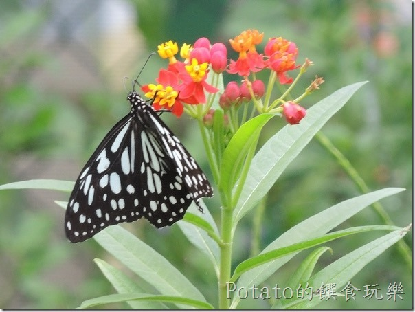 菁寮國小的蝴蝶園-絹斑蝶與花兒7