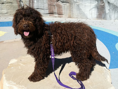 Sire GorgeousDoodles Rocky Rockwell Rok<br /> rich dark chocolate coat.