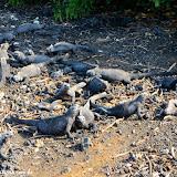 Iguanas marinhas - Tintoreras - Isabela - Galápagos, Equador
