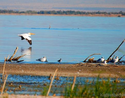 16. DSC_0253 Pelican Salton Sea 2012