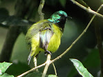 Collared sunbird (photo by Clare)