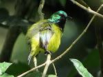 Collared sunbird (photo by Clare)