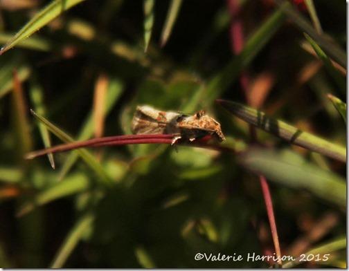 13-Micro-moth