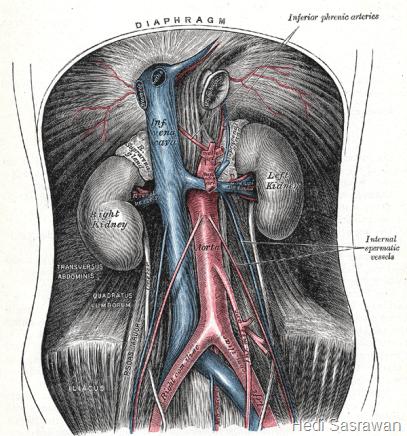 tempat pembuluh darah aorta abdominalis