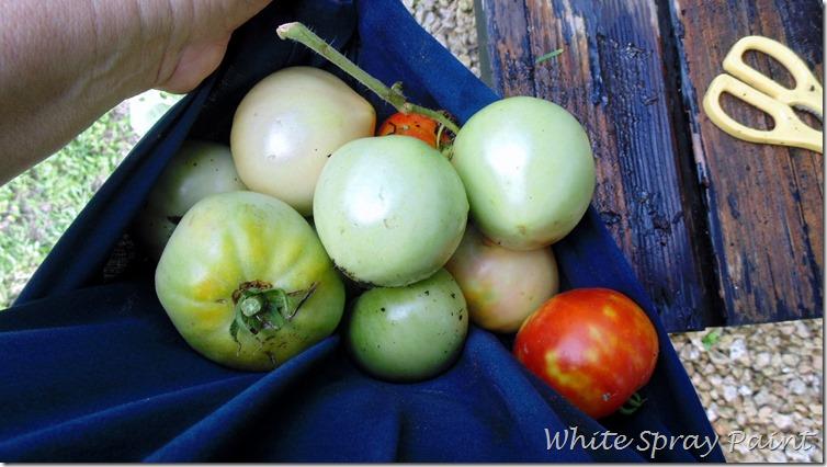 StinkBugs and Tomatoes