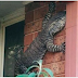 Gigantious Lizard Spotted on Australia