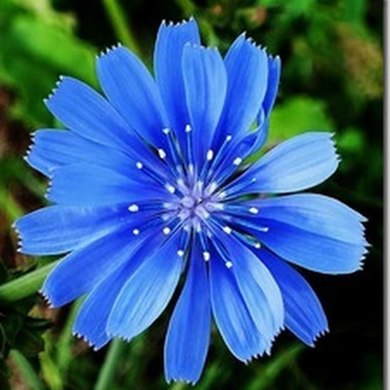 Hoa cúc xanh Chicory ( Cichorium intybus )