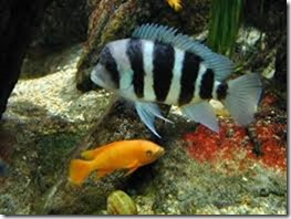 be-ca-canh-humphead_cichlid_frontosa_cichlid_cakylan_hoangquan6soc004-be-thuy-sinh